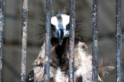 vulture  black vulture  aegypius monachus