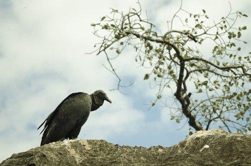 vulture  bird  paige