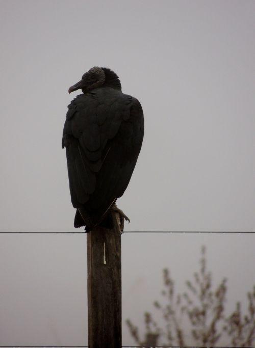 vulture bird butcher