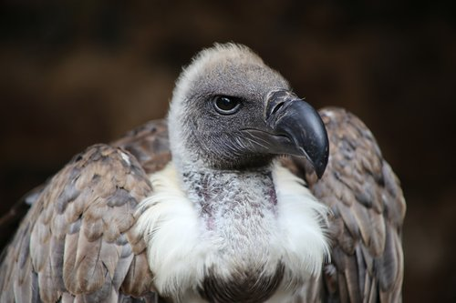 vulture  bird of prey  scavengers
