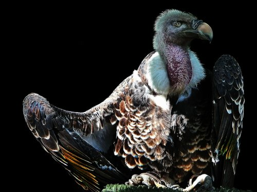 vulture  fractalius  bird