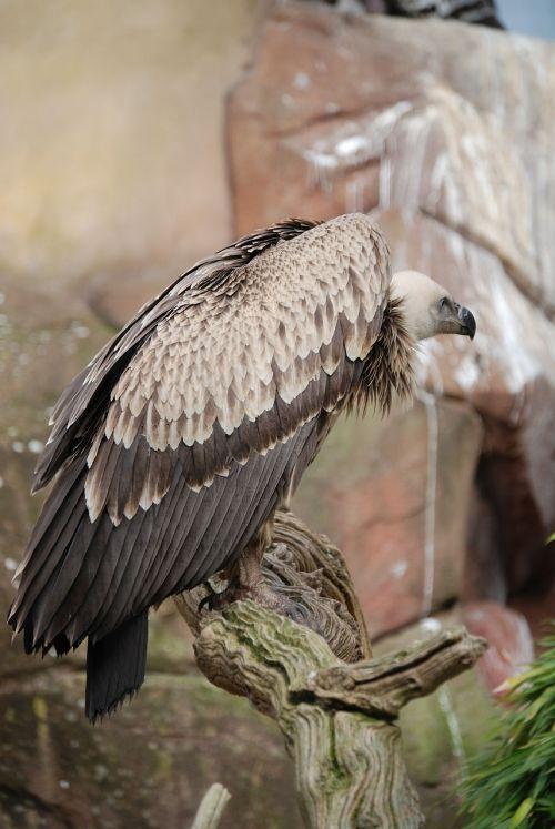 vulture griffon vulture scavenger