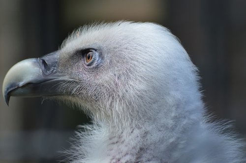 vulture  eye  piercing