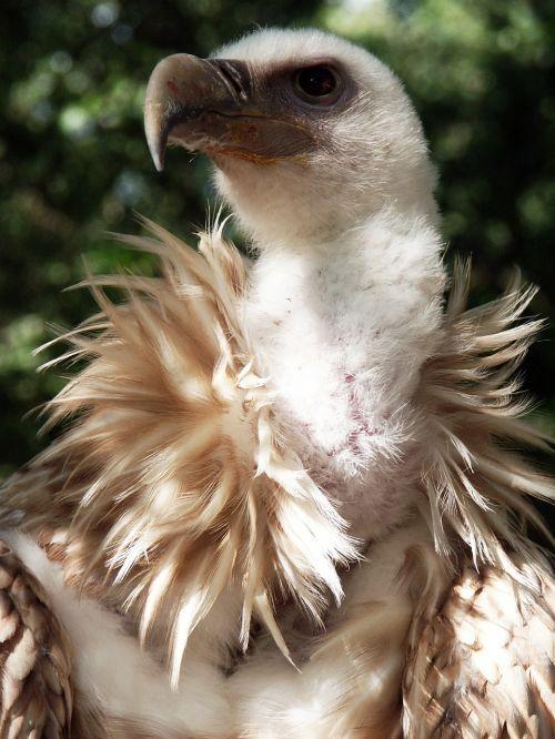 vulture griffon vulture bird