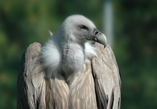 vulture bird raptor