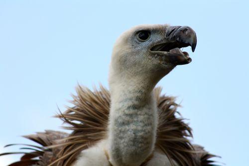 vulture vulture head vulture beak