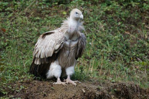 vulture feeding scavengers