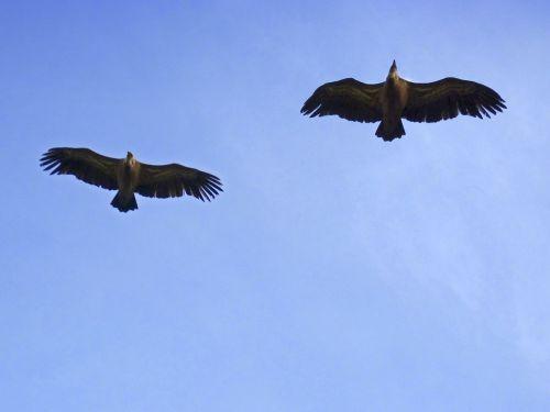 vultures sky flight