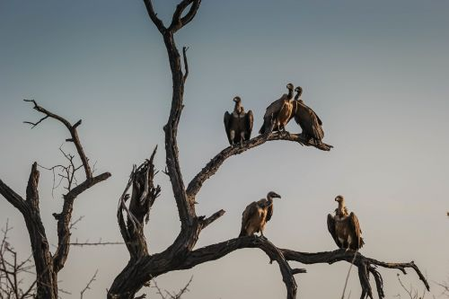 vultures sunset watching