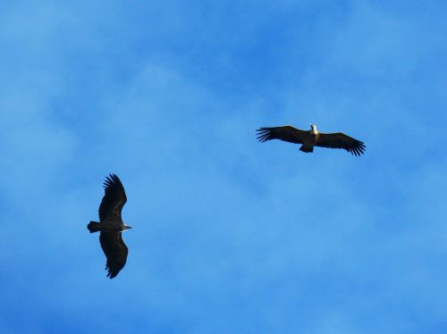 vultures sky fly