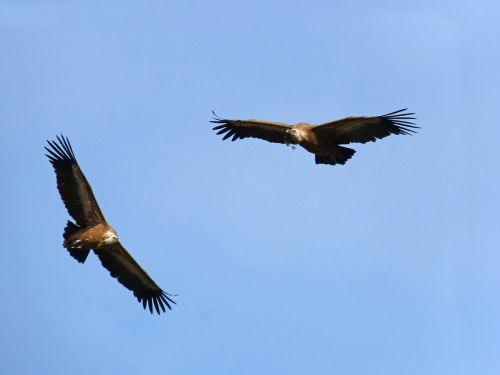 vultures fly make the nest