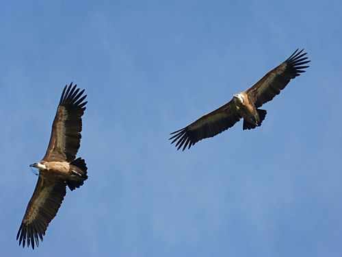 vultures make the nest fly