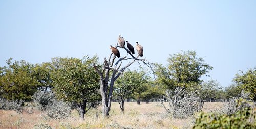 vultures  birds  scavenger
