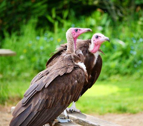 vultures  hooded vultures  bird
