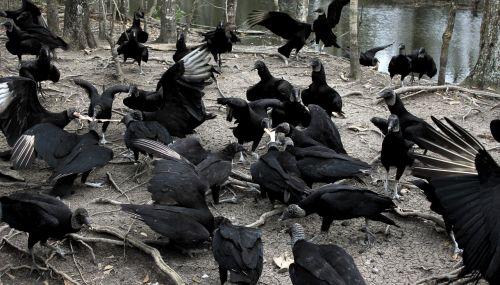 vultures louisiana nature
