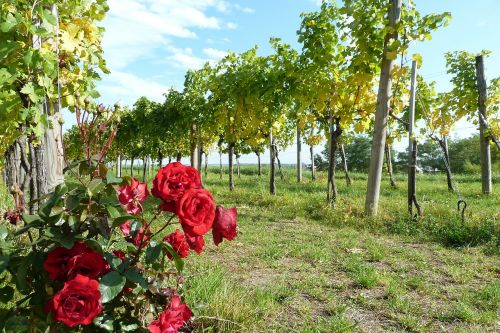 wachau wine rose