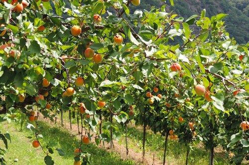 wachau  apricots  fruits