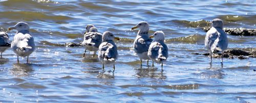 Wading Seagulls
