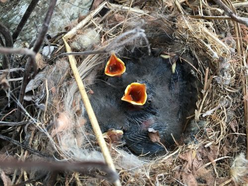 wagtail chick nest
