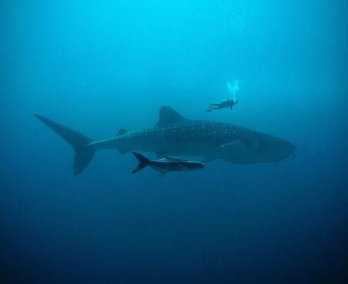 wal,spinduliai,nardymas,žuvis,povandeninis,vanduo,smūgis,burbulas,narai,giliai,šlapias,didelis,Manta,mėlynas,tunų,hai,delfinas