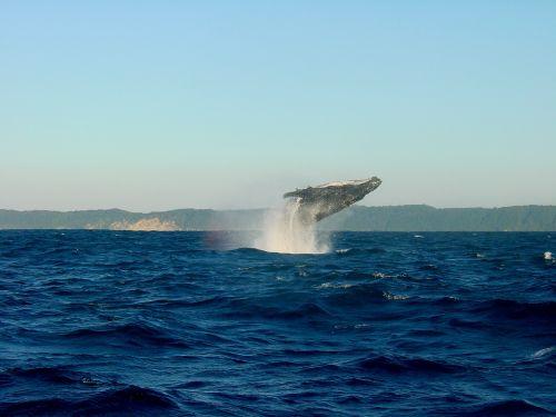 wal humpback whale ocean