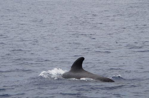 wal pilot whale pilotwal