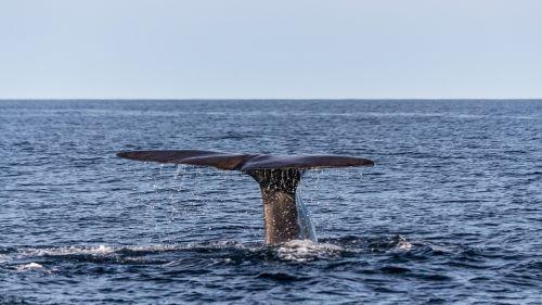 wal sperm whale caudal fin