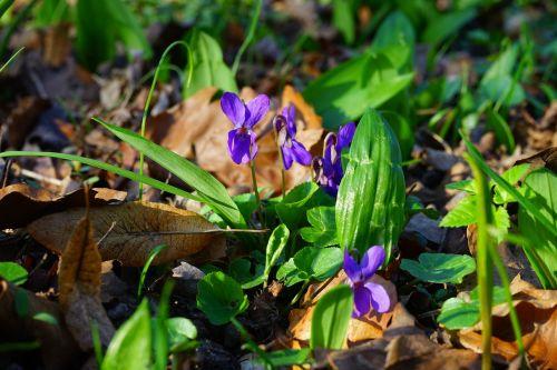 wald violet violet flower