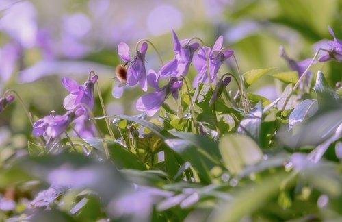 wald violet  violet  flowers