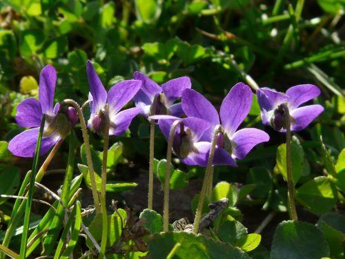 wald violet violet purple