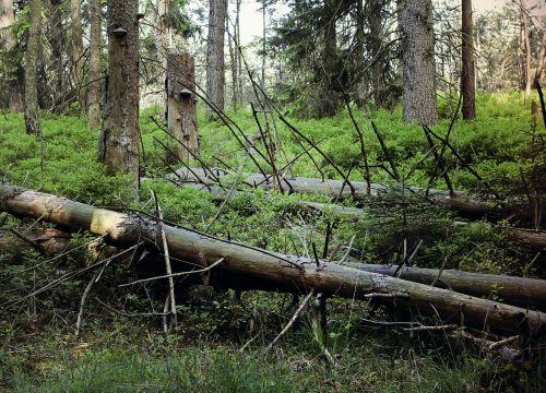 waldsterben dead plant gnarled