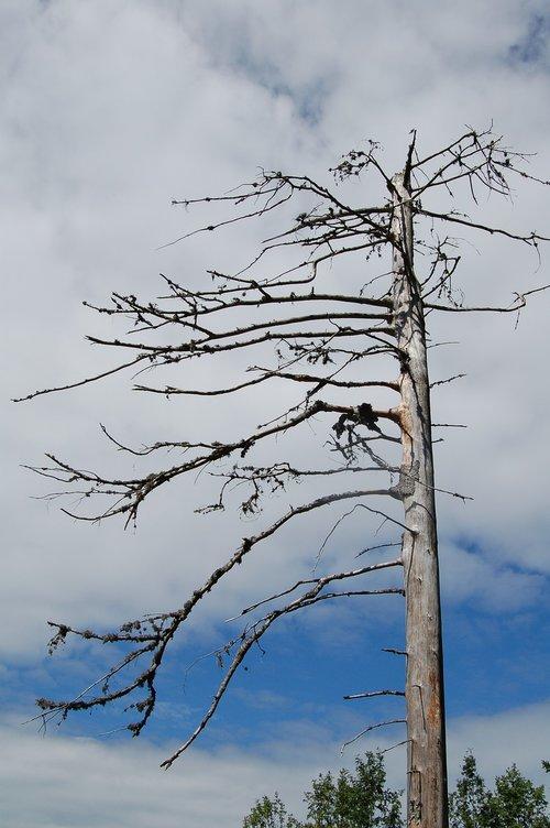 waldsterben  tree  dead