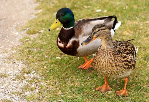 walk pair pair of ducks