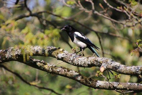 walk  birds  corvidae