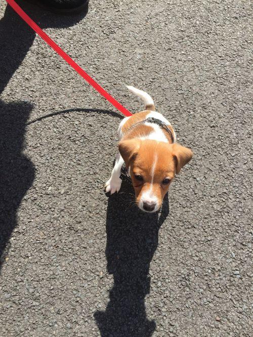 walkies pup dog