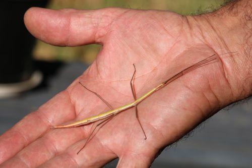 Walking Stick Bug On Man's Hand