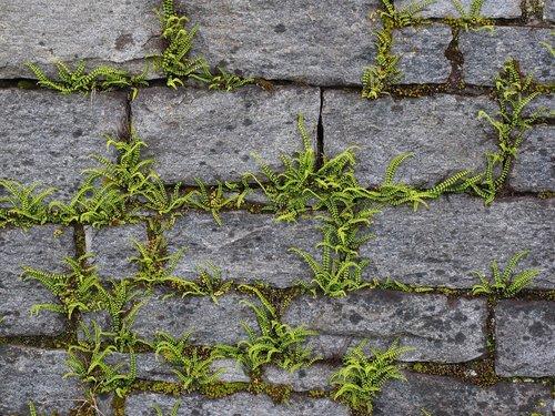 wall  greening  fern