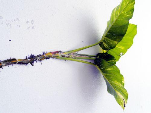 wall climbing plant creepers