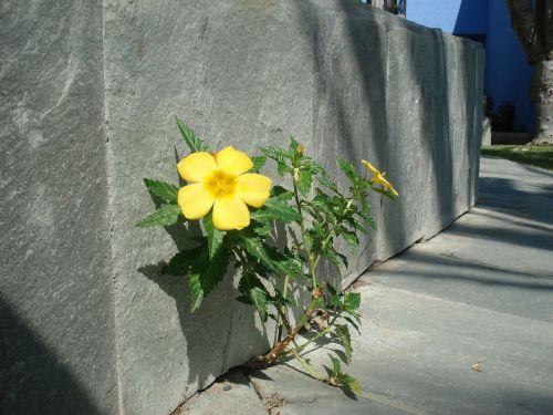wall flower roadside plant