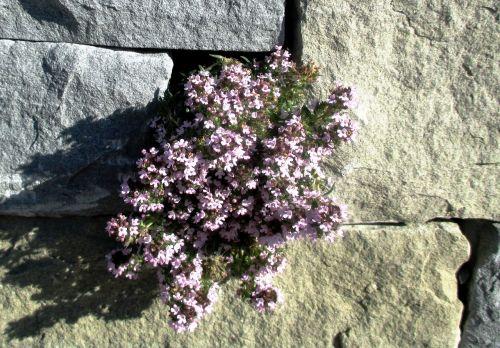 wall flowers wallflower rock plants