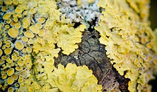 wall lichen crust lichen lichen