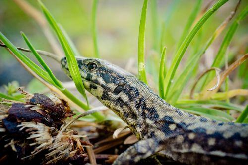 wall lizard lacertinae podarcis
