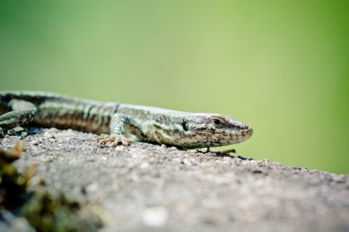wall lizard reptile real lizard