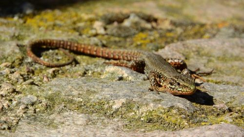 wall lizard lizard france