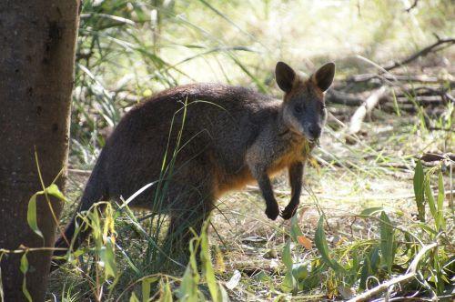 wallaby australia kangaroo