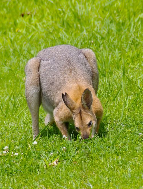 wallaby rednecked wallaby male
