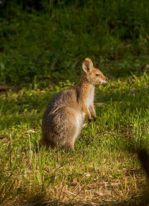 wallaby rednecked wallaby young
