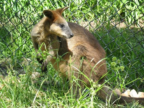 wallaby mammal wild