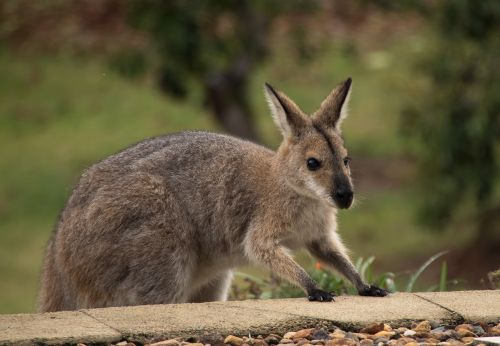 wallaby rednecked wallaby climbing