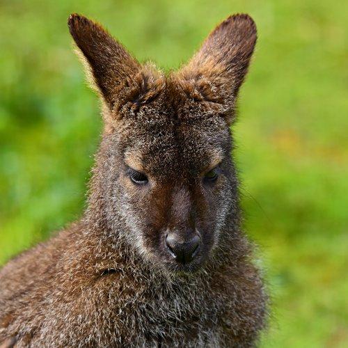 wallaby  animal  marsupial